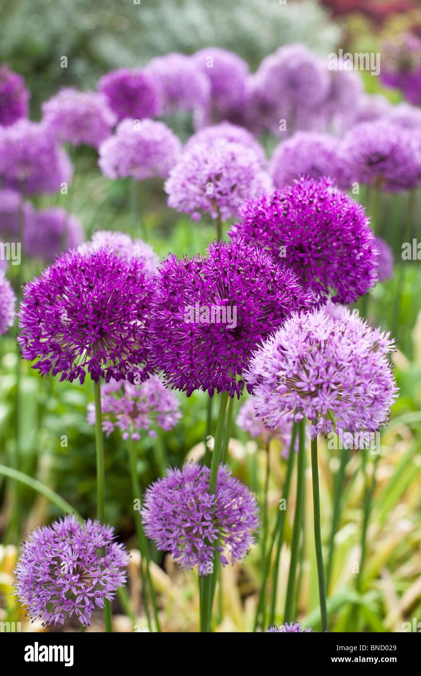 Alliums in full bloom in Spring - Stock Image