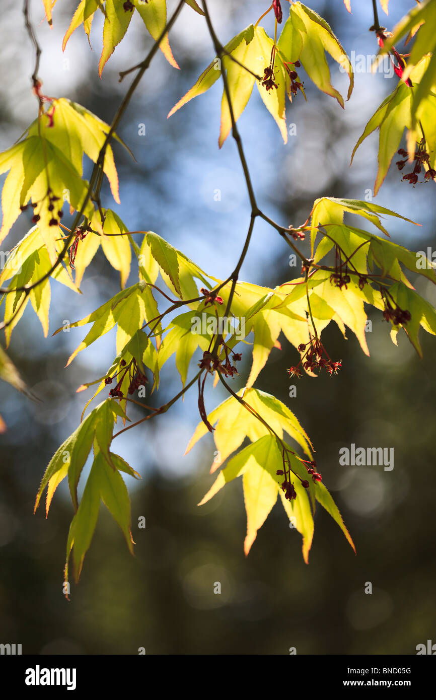 Spring & the first beautiful vibrant green leaves of Acer Palmatum subsp. amoenum - Stock Image