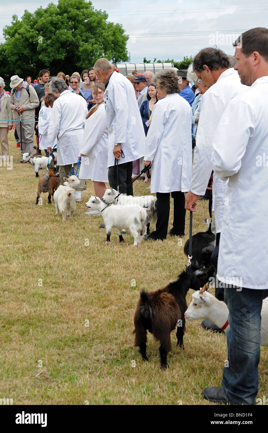 pygmy goats waiting to be judged at stithians show near camborne in cornwall, uk - Stock Image