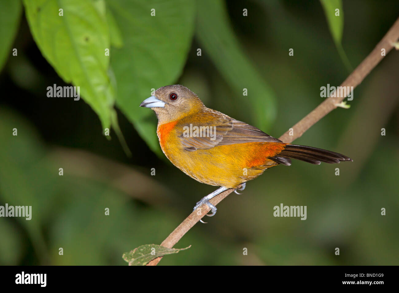 Cherrie's Tanager Adult Female Endemic to Costa Rica and Panama. - Stock Image