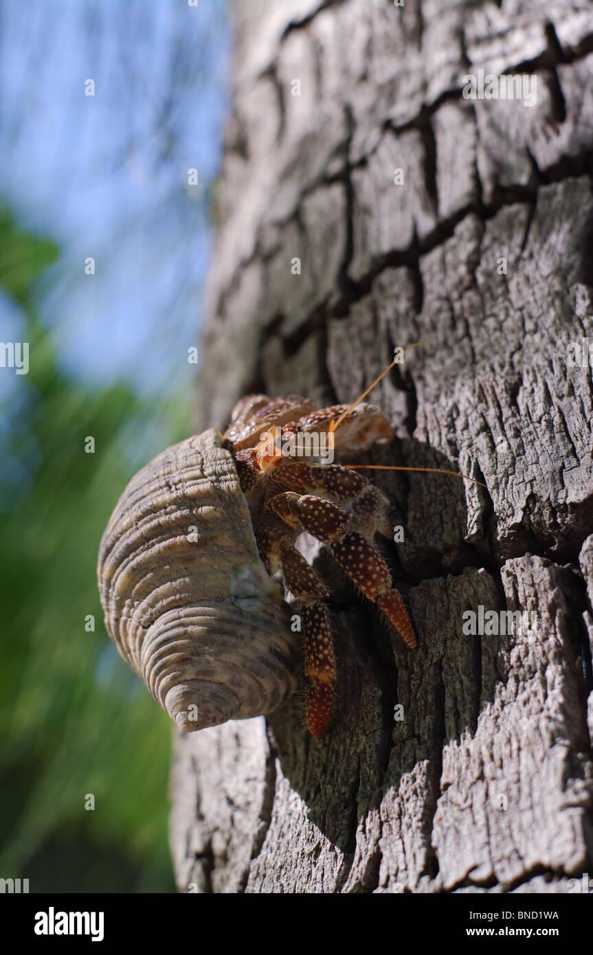 Hermit Crab climbing a Coconut Tree, Rangiroa, French Polynesia - Stock Image