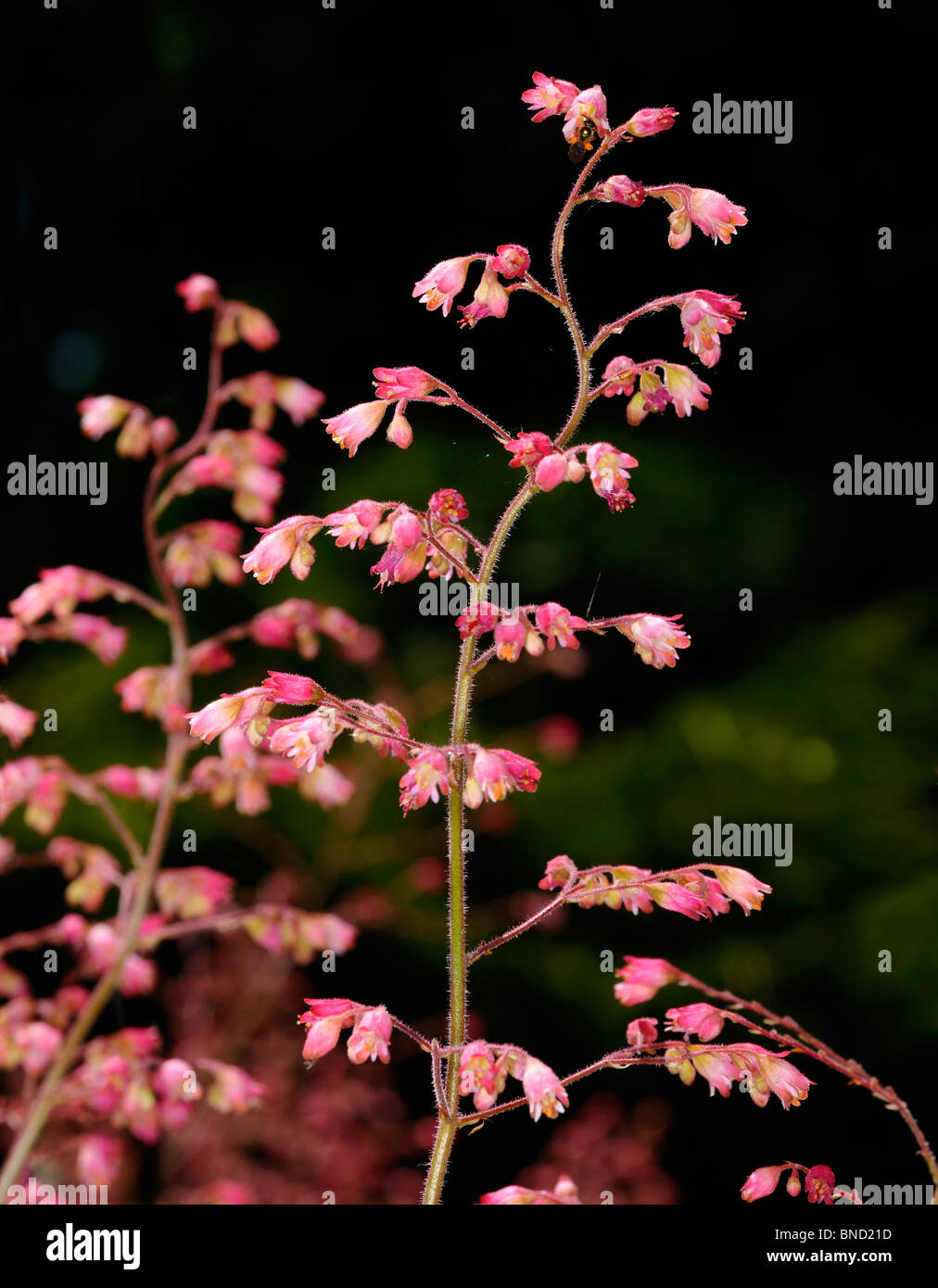 Stalk of pink Heuchera Coral Bells flowers in a sunny garden against a shade background Toronto - Stock Image