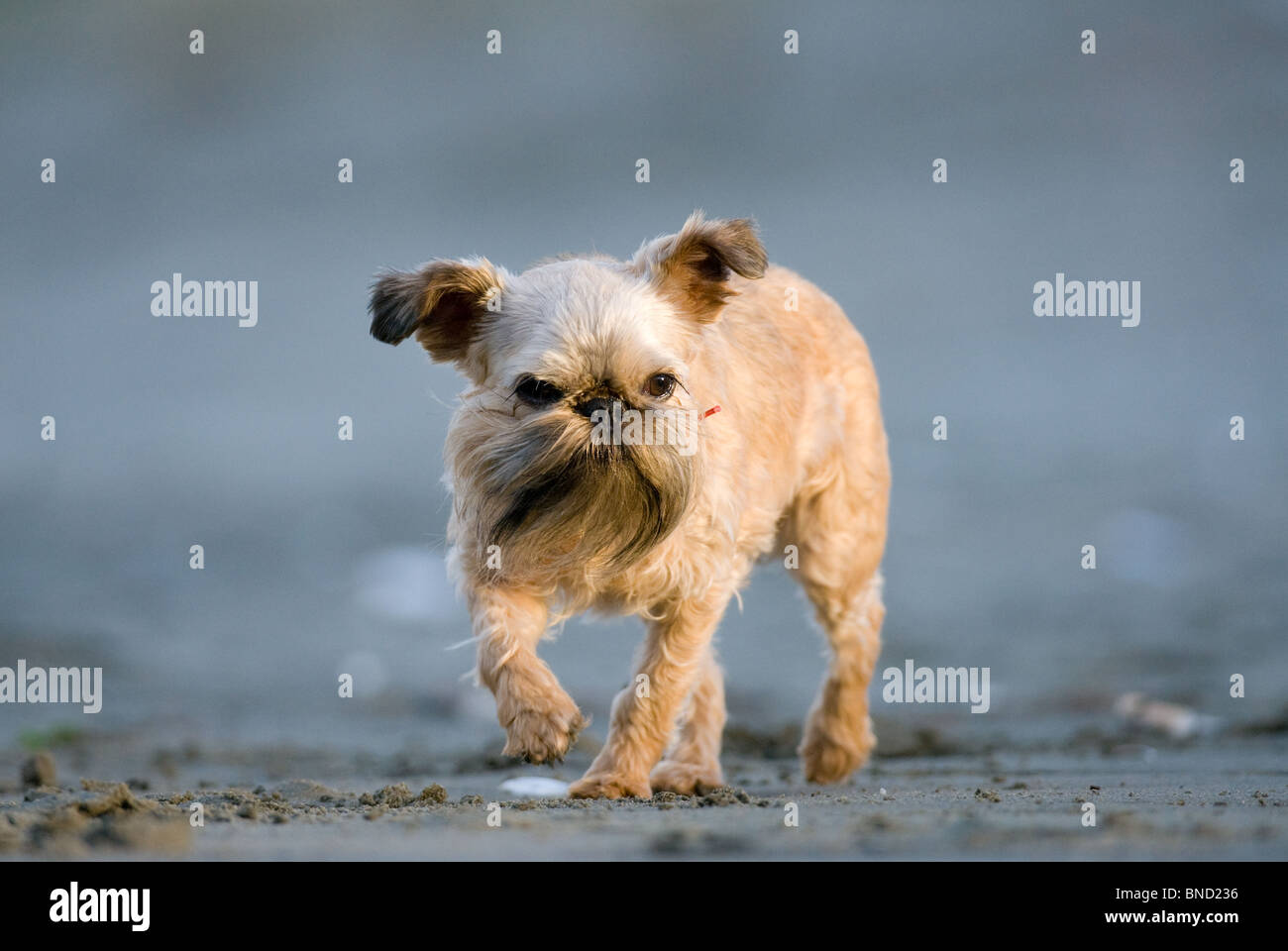 Griffon dog Canis lupus familiaris Stock Photo