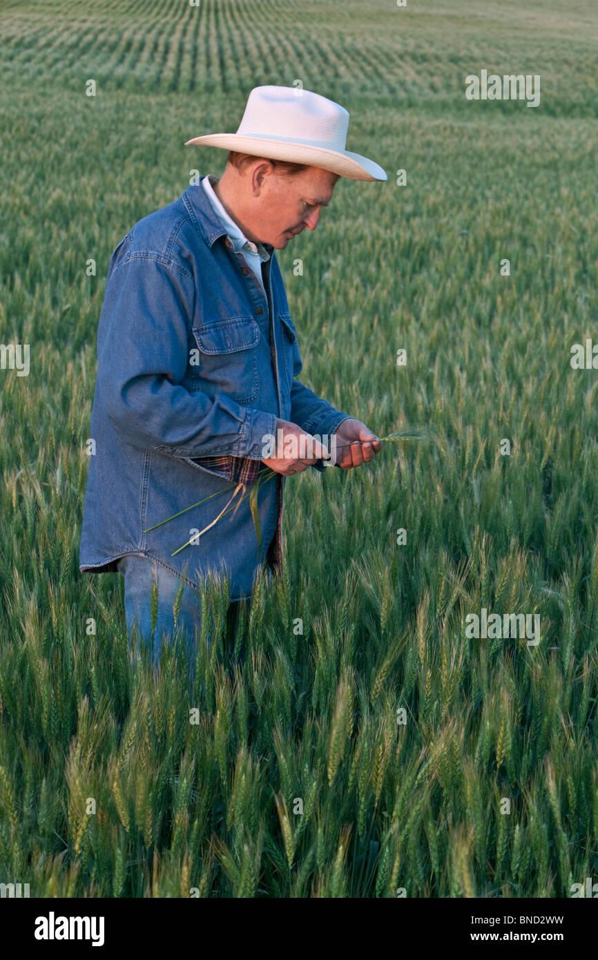Farmer inspecting maturing wheat field, - Stock Image