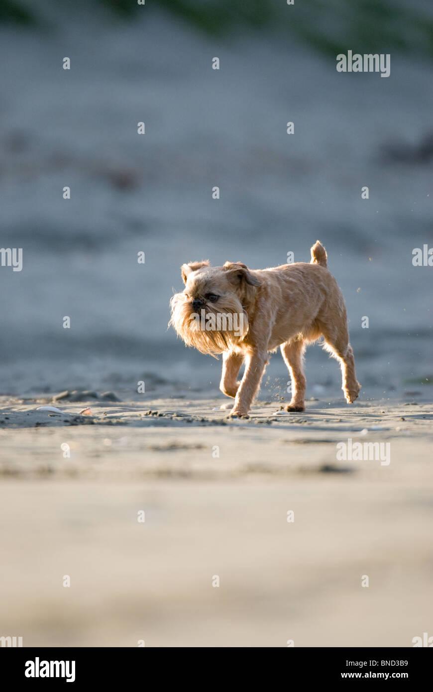 Griffon dog Canis lupus familiaris - Stock Image