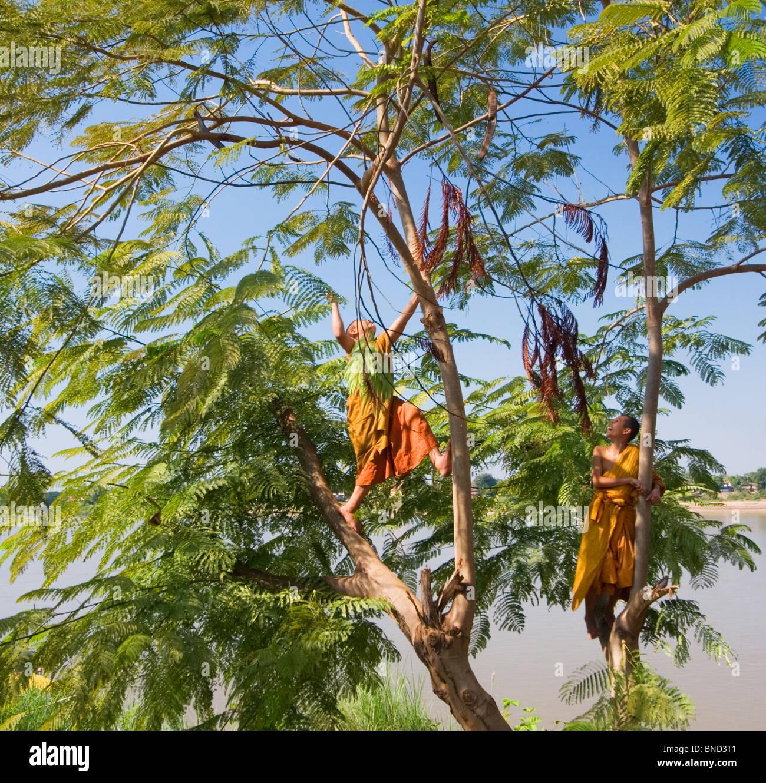 Monks In Orange Robes Climbing A Jacaranda Tree Nong Kai