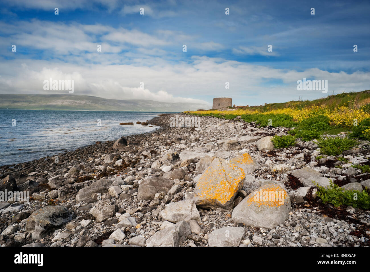Finavarra Point, the Burren, County Clare, west of Ireland, with Martello tower and yellow sea radish flowers - Stock Image