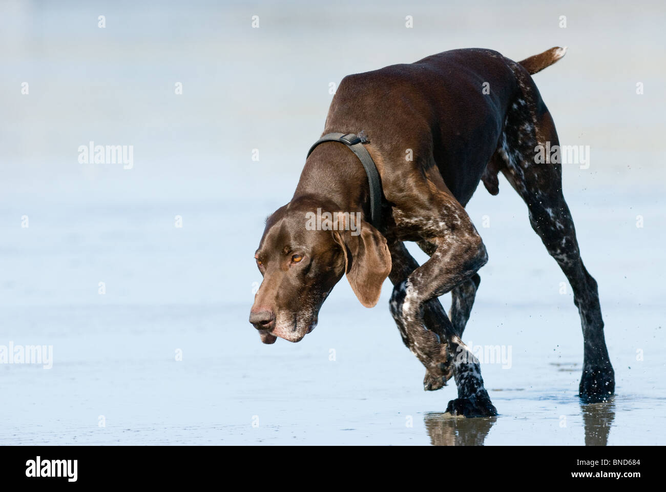 German short haired pointer Canis lupus familiaris - Stock Image