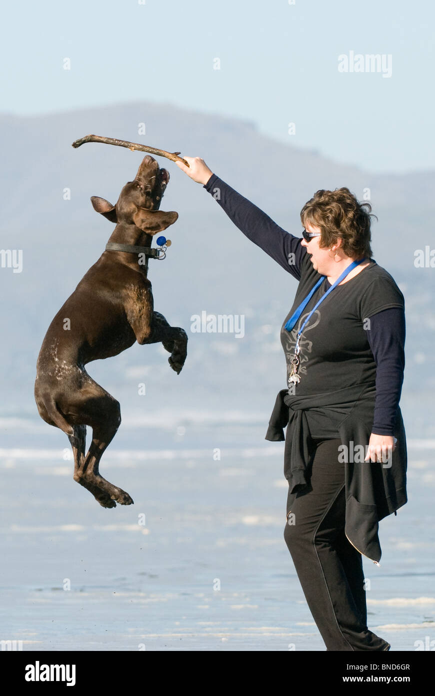 German short haired pointer Canis lupus familiaris jumping - Stock Image