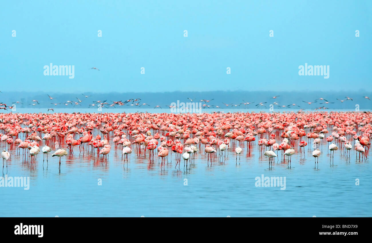 Flock of flamingos. Africa. Kenya. Lake Nakuru - Stock Image