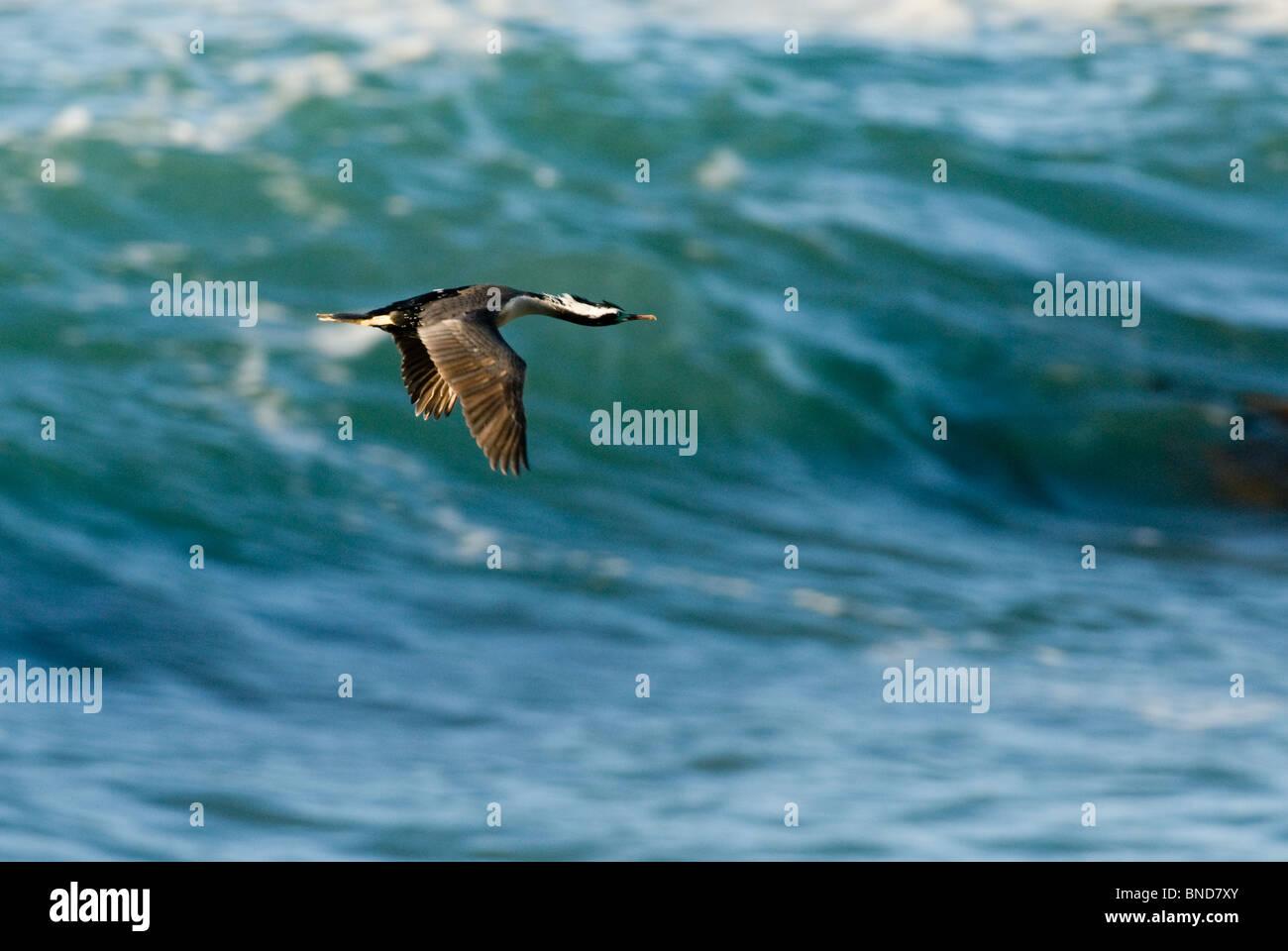 New Zealand Spotted Shag Stictocarbo punctatus - Stock Image