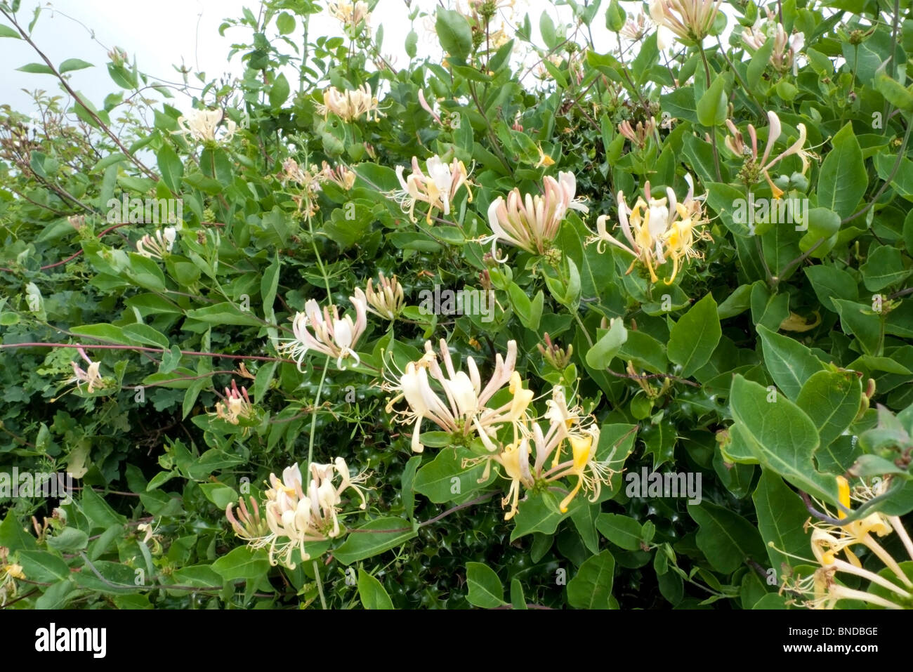 Wild honeysuckle in bloom flowering growing in a hedgerow in the countryside near Llandovery Carmarthenshire  Wales - Stock Image