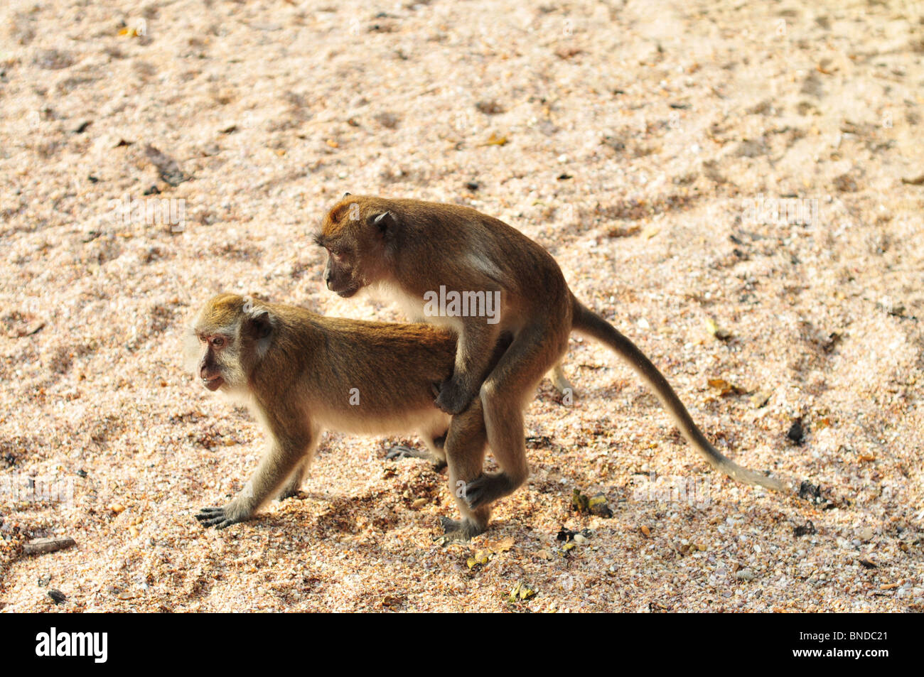 Variant Picture of monkey having sex