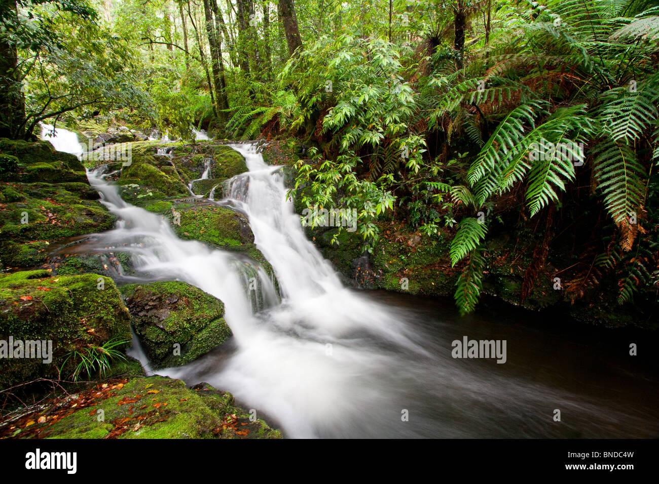 Flowing stream in temperate rainforest, Barrington Tops National Park, Australia - Stock Image