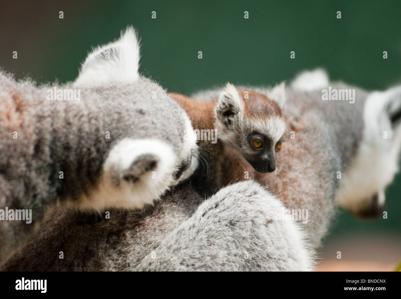 Baby Lemur with mum and dad - Stock Image