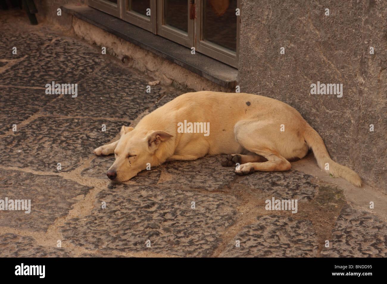 Stray dog asleep Naples Italy - Stock Image