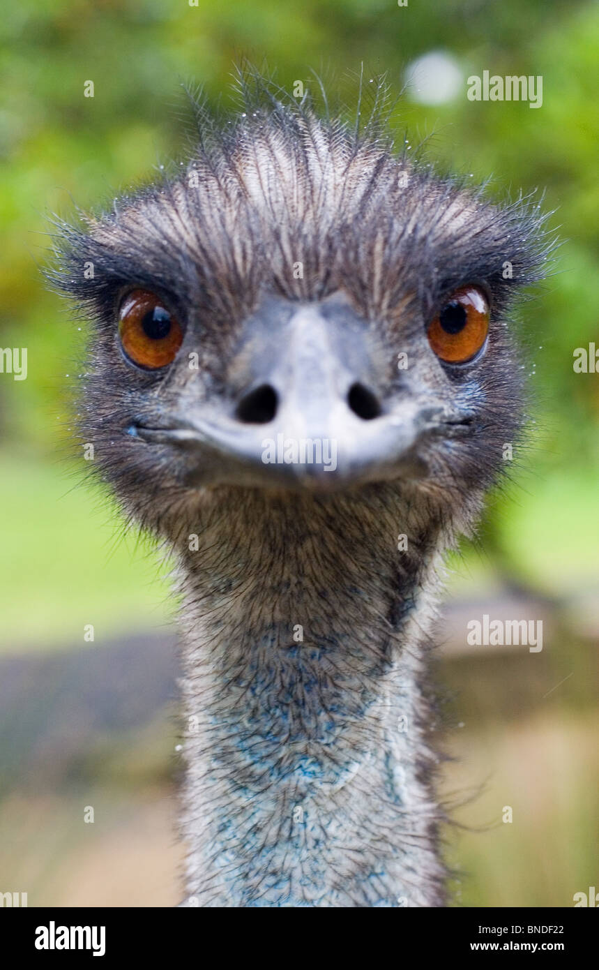 Emu Dromaius Novaehollandiae Looking At The Camera Australia