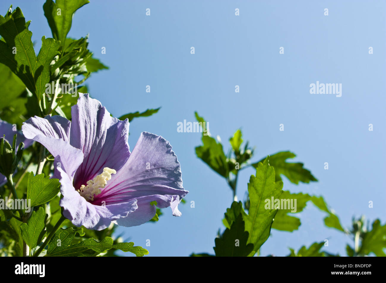 Violett Hibiscus syriacus bloom and blue sky - Stock Image
