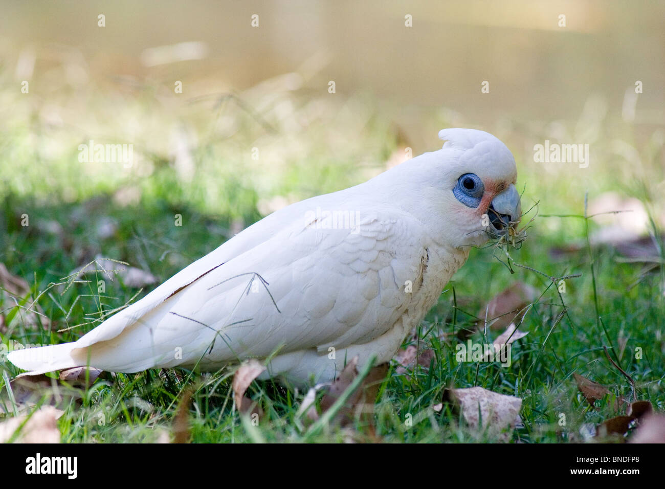 Little Corella (Cacatua sanguinea), Australia Stock Photo