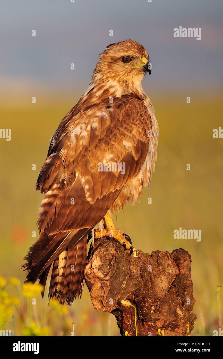 common; buzzard; buteo buteo; falconidae; bird; animal; nature; spring; euorpe; raptors - Stock Image