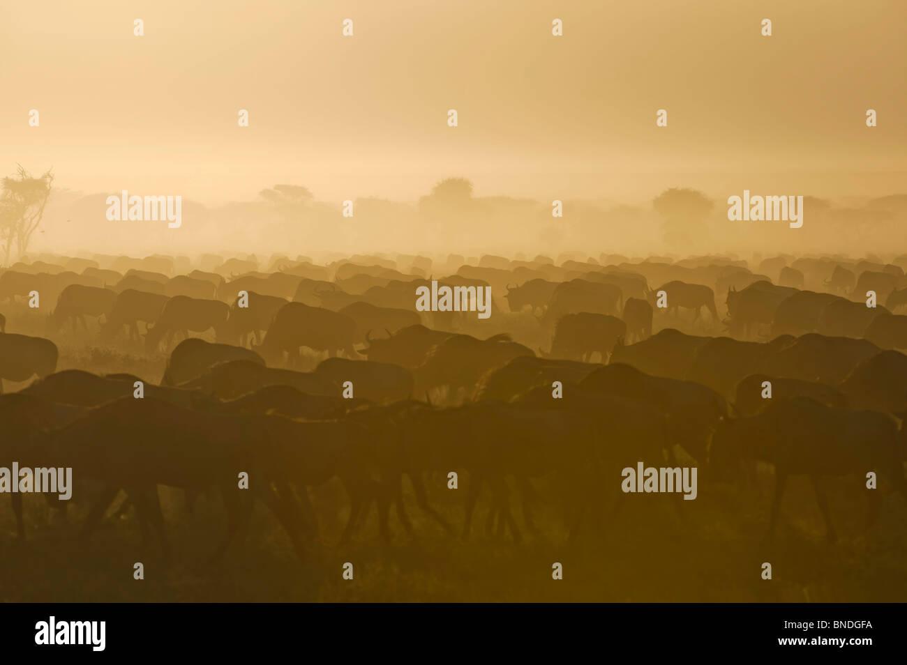 Wildebeest Migration, Serengeti Ecosystem, Tanzania - Stock Image