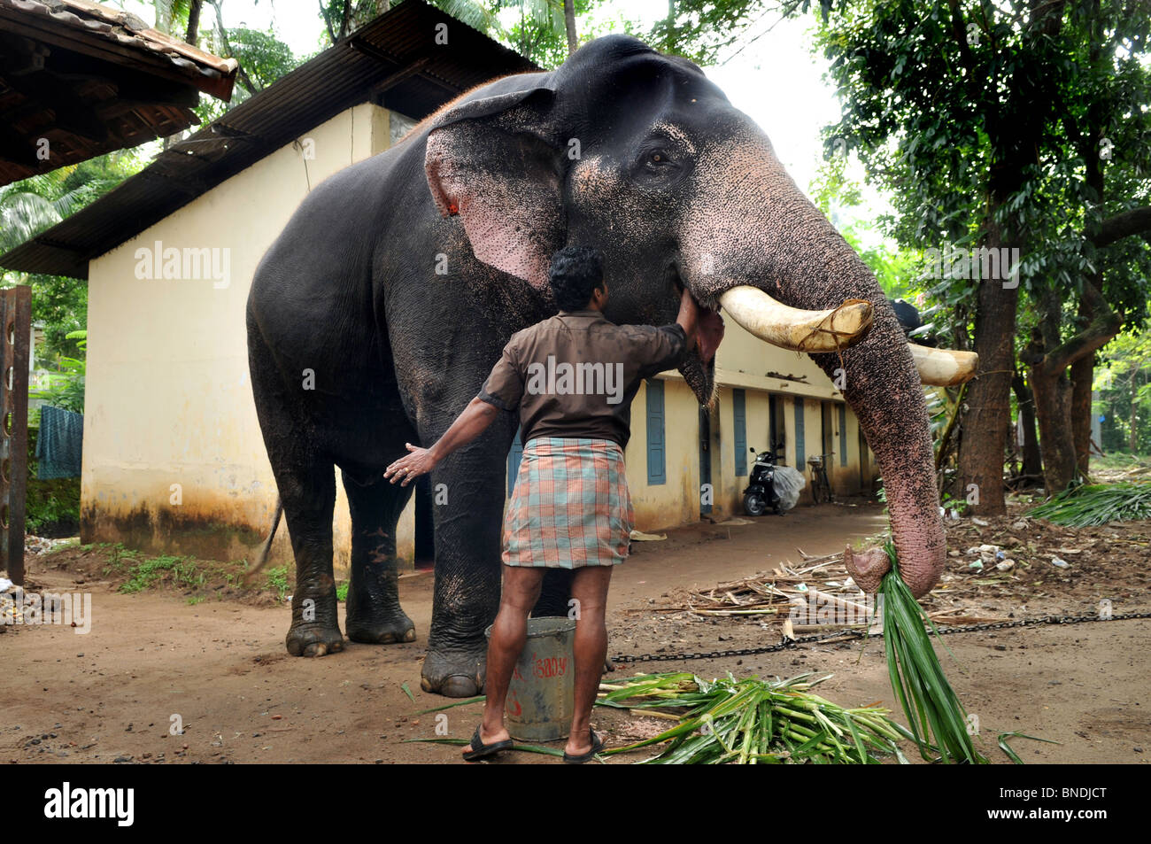 This Elephant Sanctuary Is In Punnathur Kotta About 3 kms North Of Guruvayur Temple - Stock Image