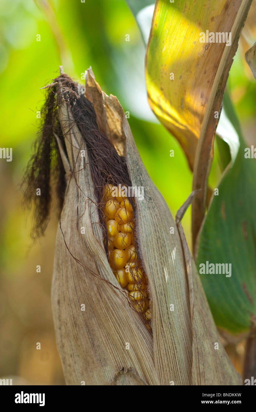 A mature ear of corn with dried out leaves and silk. - Stock Image