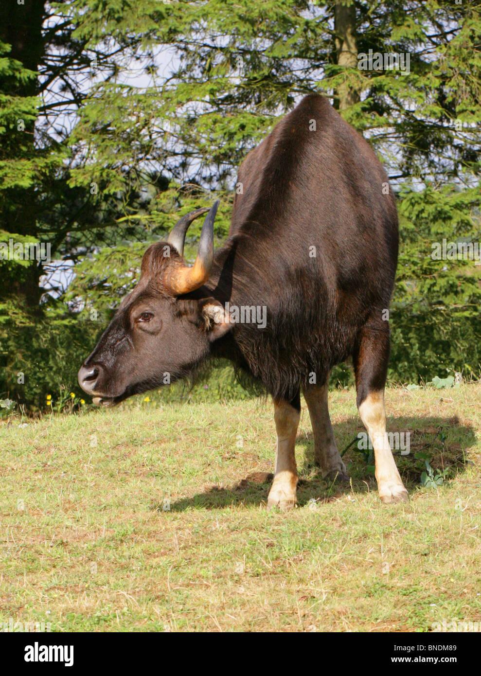 Male Gaur or Indian Bison, Bos gaurus (previously Bibos gauris), Bovinae, Bovidae. Large Asian Cattle. - Stock Image