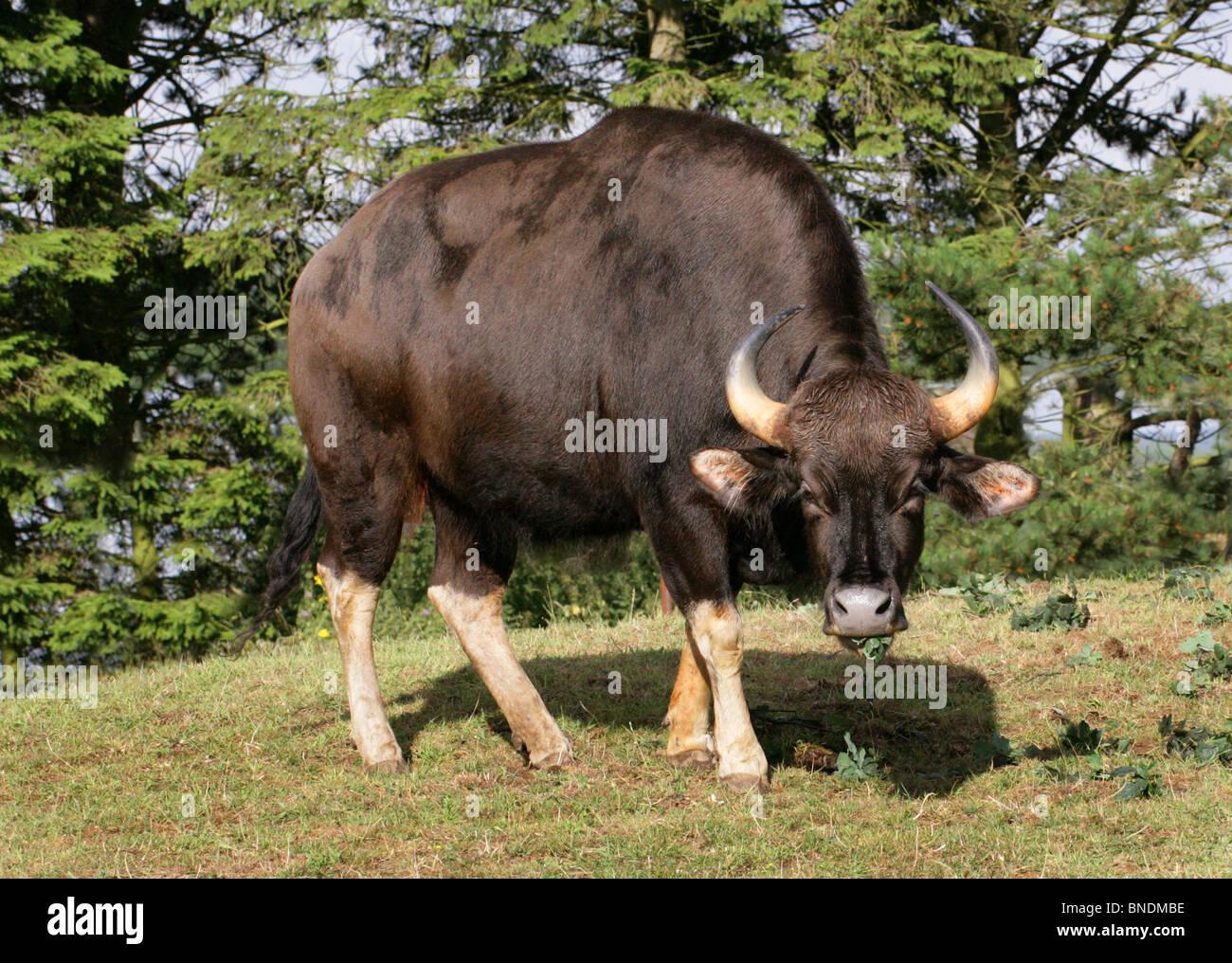 Female Gaur or Indian Bison, Bos gaurus (previously Bibos gauris), Bovinae, Bovidae. Large Asian Cattle. - Stock Image