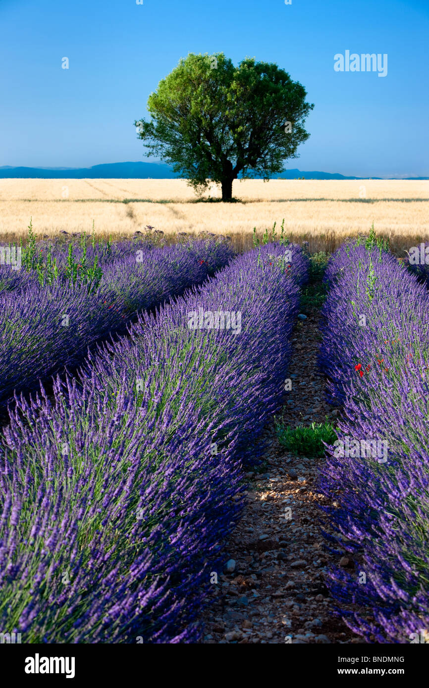 Lone tree adjacent to a Field of lavender along the Valensole Plateau, Provence France - Stock Image