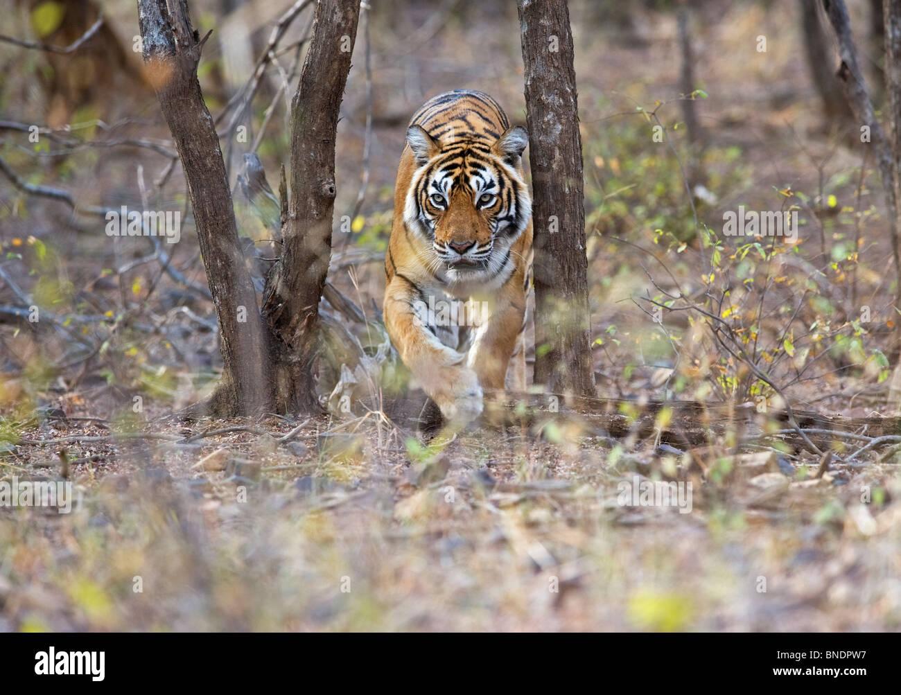 Royal bengal Tiger Panthera tigris tigris endangered Ranthambhore National Park Rajasthan India - Stock Image