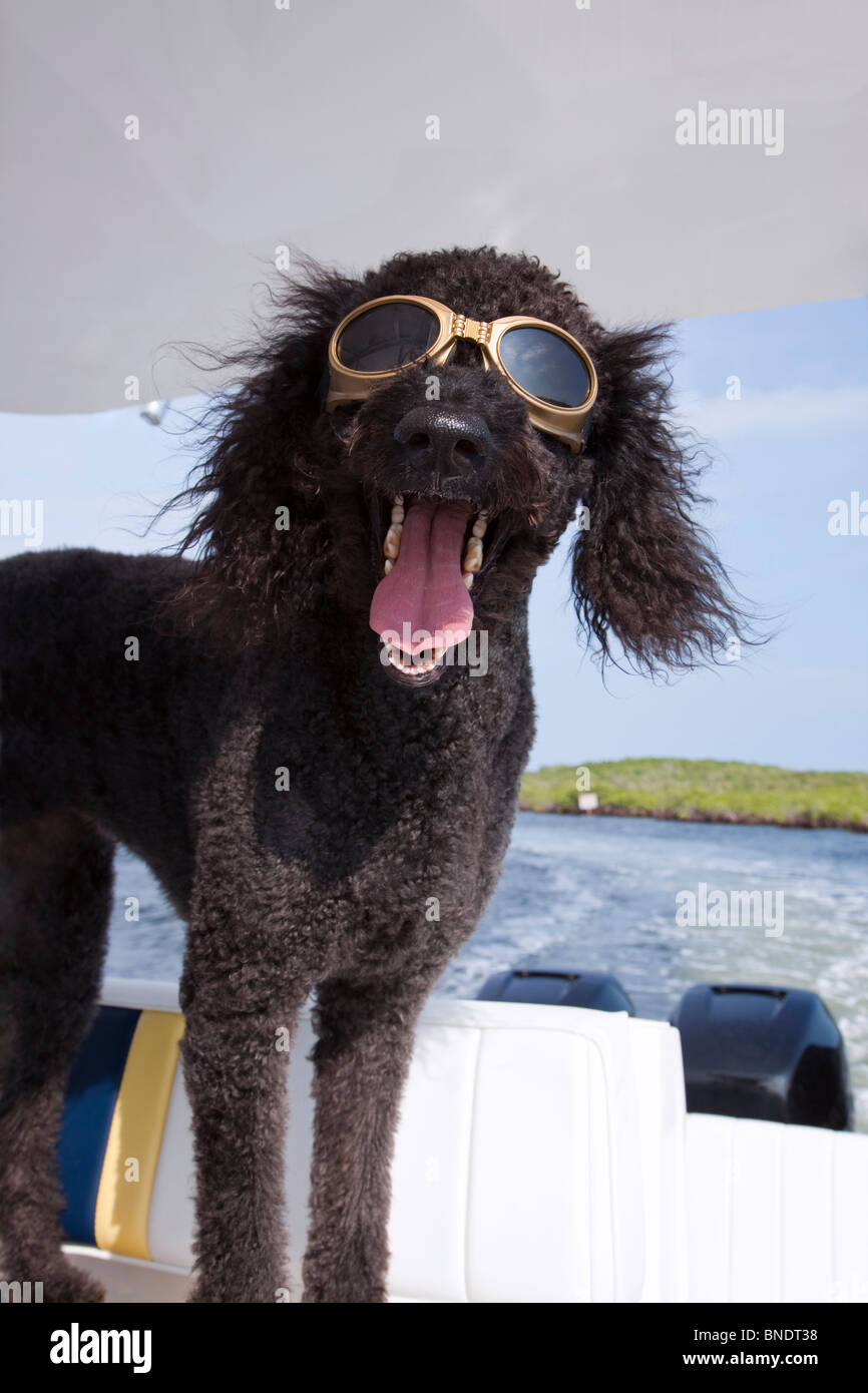 Silly black labradoodle dog wearing sun goggles enjoying a boat ride, mouth open as if talking, ears blowing in - Stock Image