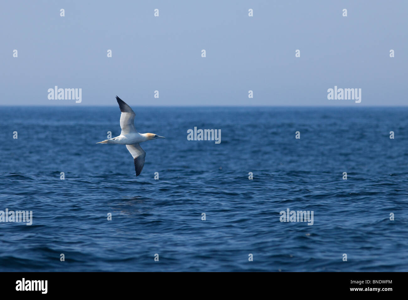 Northern Gannet in flight County Co. Kerry in spring sunshine Republic of Ireland Eire Europe - Stock Image