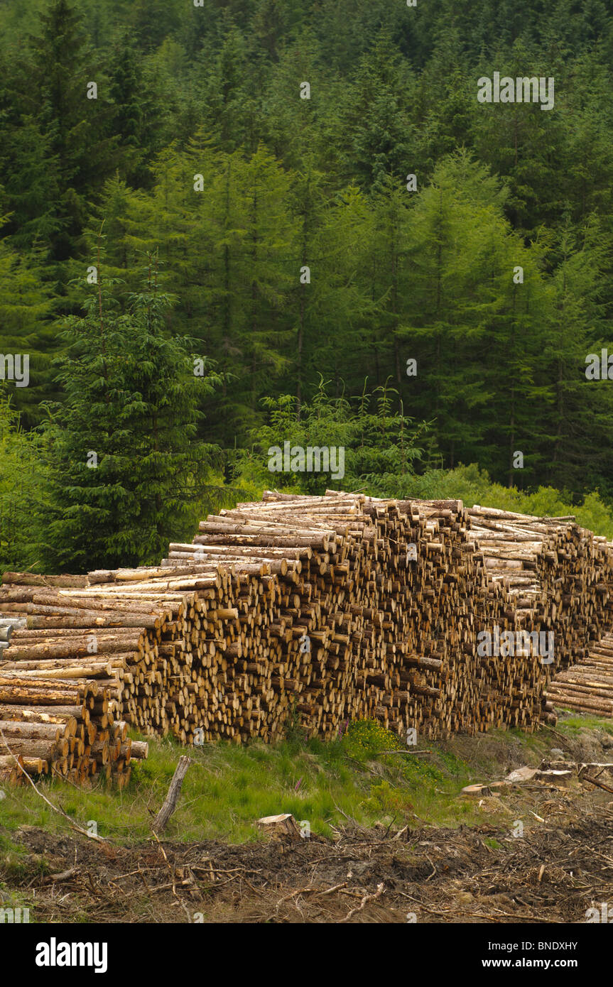 Stacks of cut logs awaiting collection UK Forestry Commission conifer woodland plantation, Wales UK - Stock Image