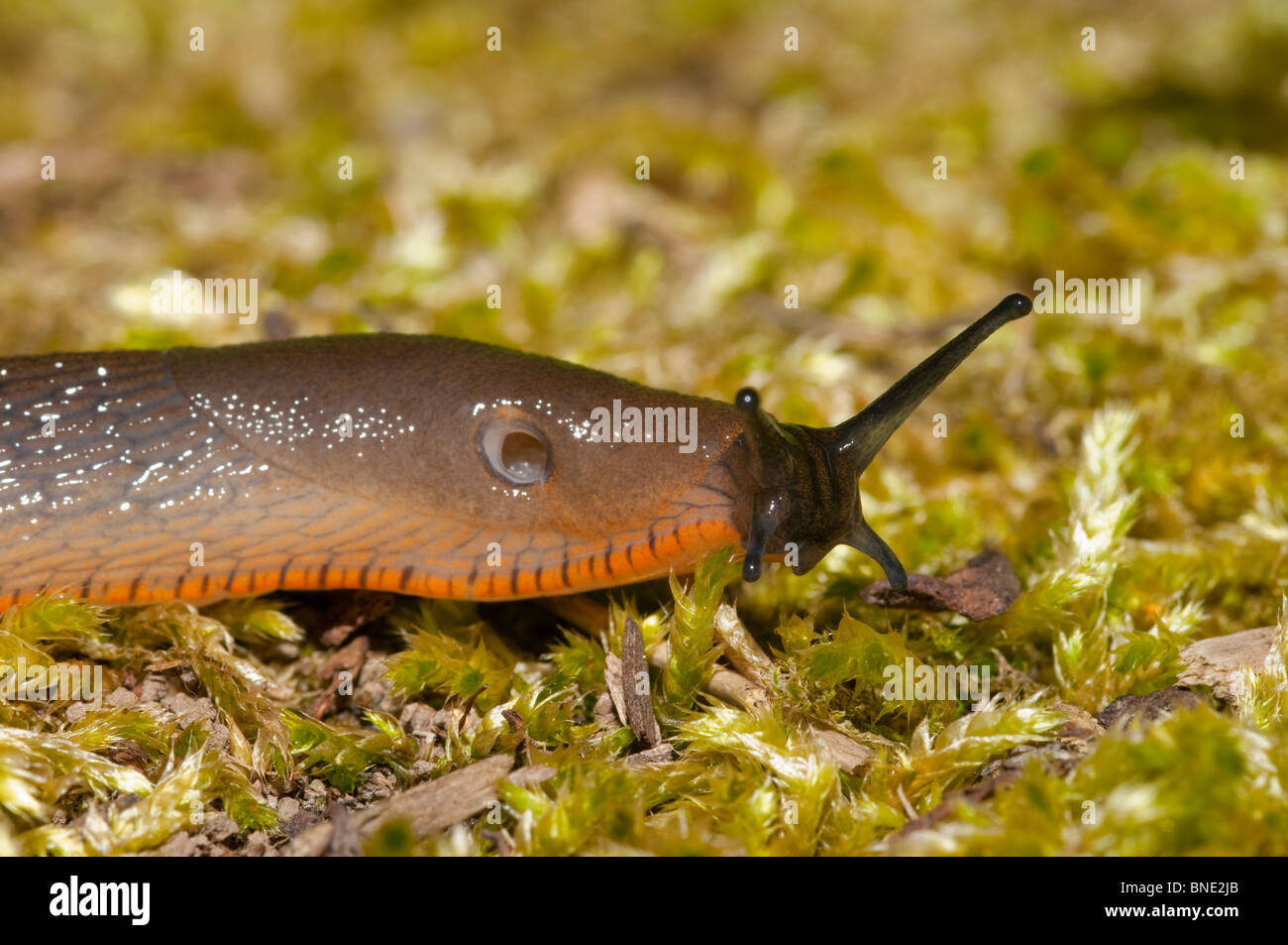 Orange Slug Stock Photos & Orange Slug Stock Images - Alamy
