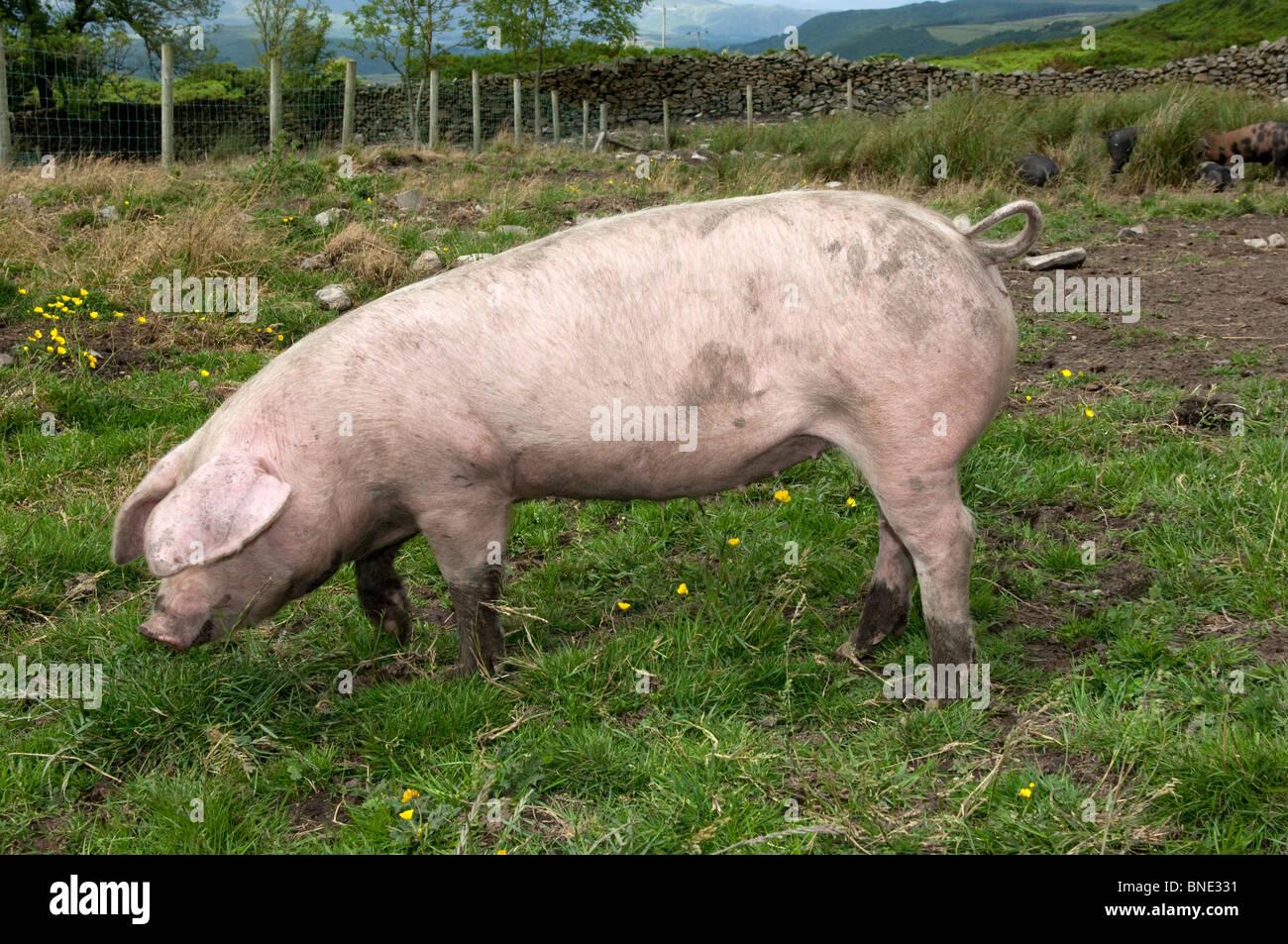 British Lop pig grazing in pasture - Stock Image