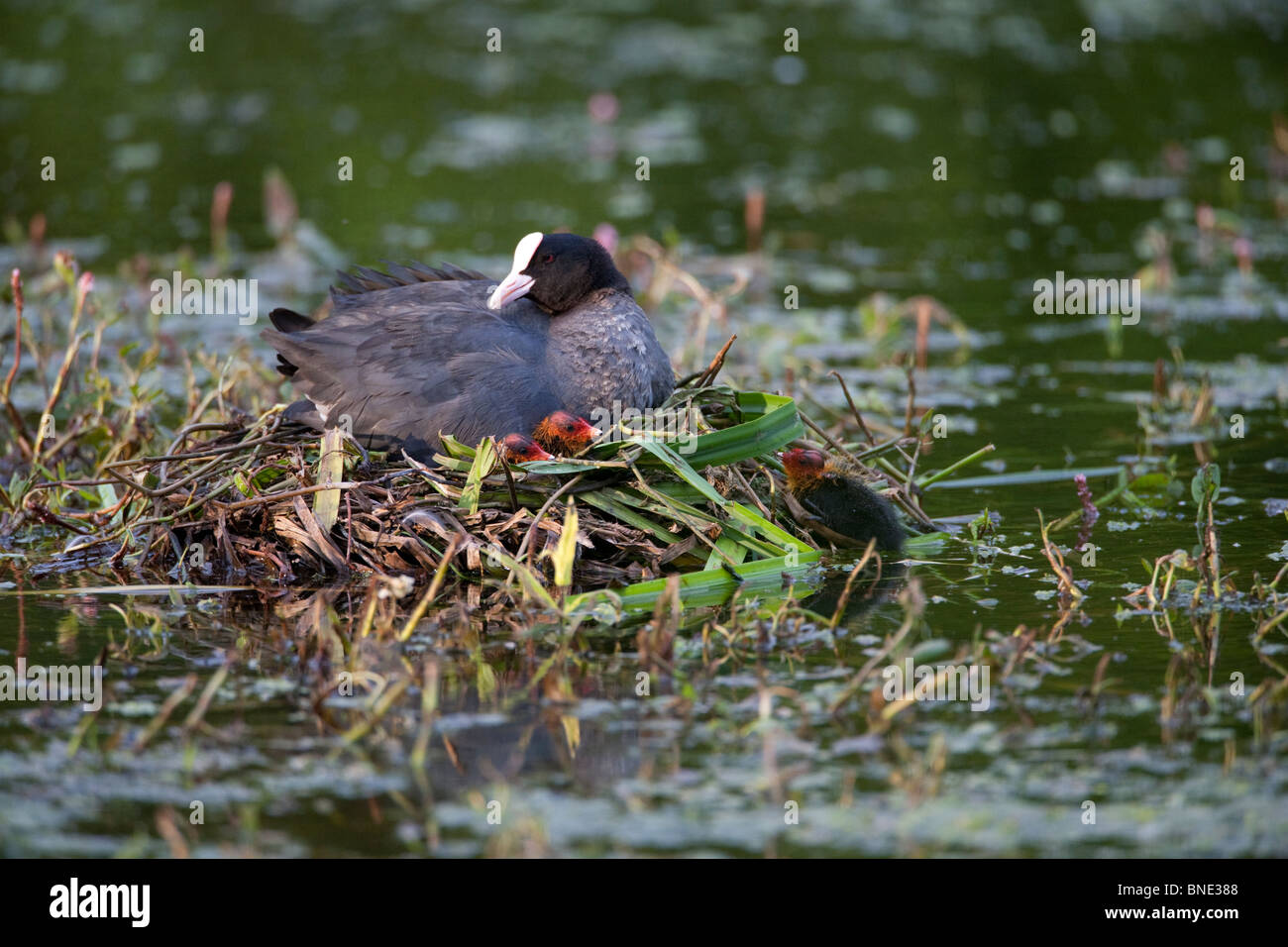 Coot and chicks on a nest. - Stock Image