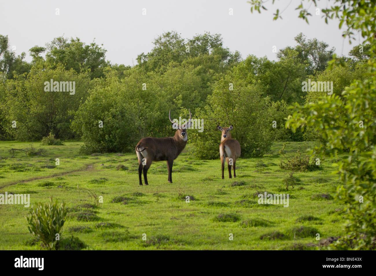Pair of waterbuck, Kobus ellipsiprymnus, in Mole National Park, Ghana. - Stock Image