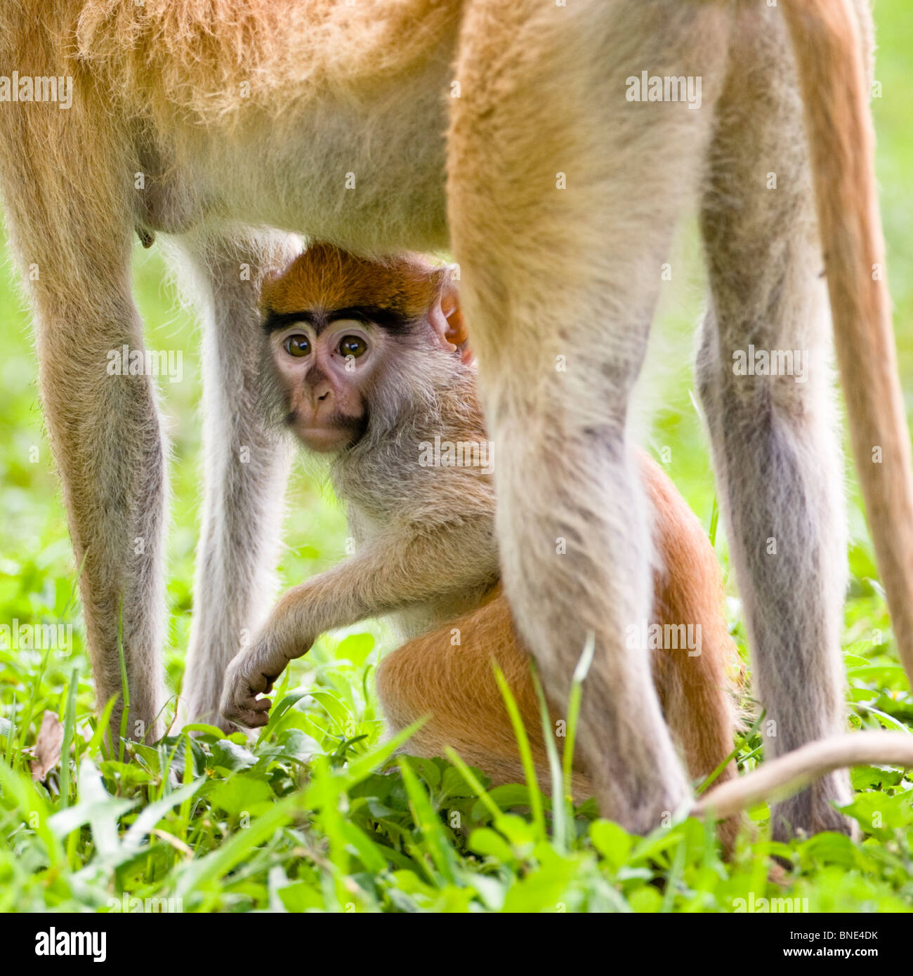 Patas Monkey, Erythrocebus patas, with young, in Mole National Park, Ghana. - Stock Image