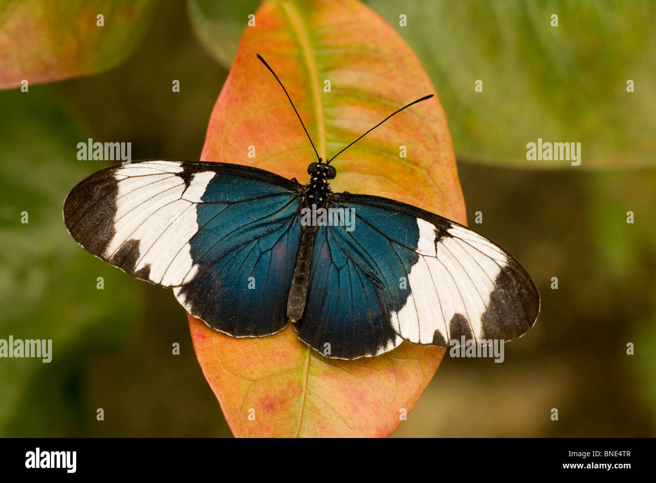 Close-up of a Sapho Longwing butterfly (Heliconius sapho) Stock Photo