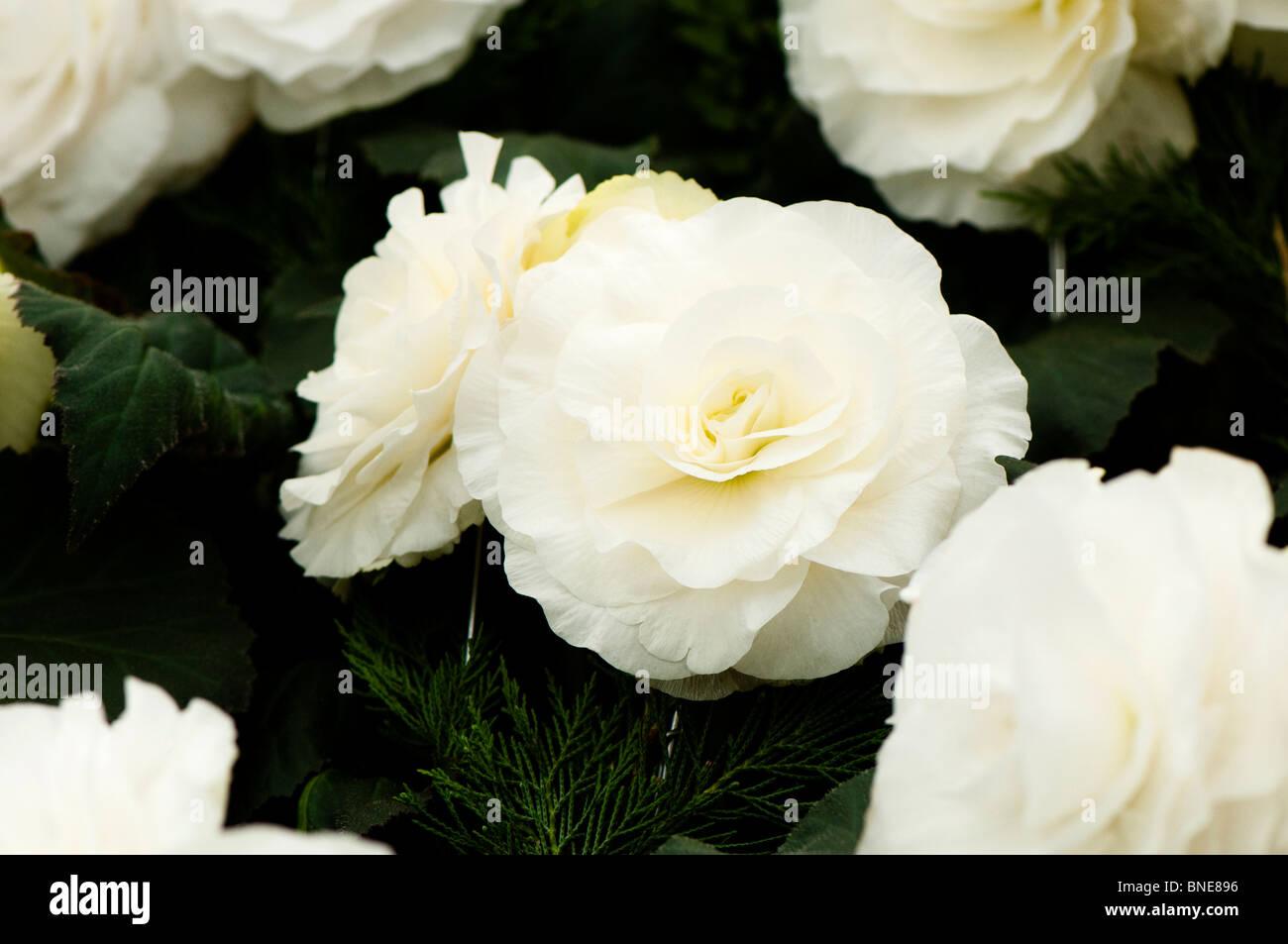 Begonia 'Billie Langdon' in flower - Stock Image