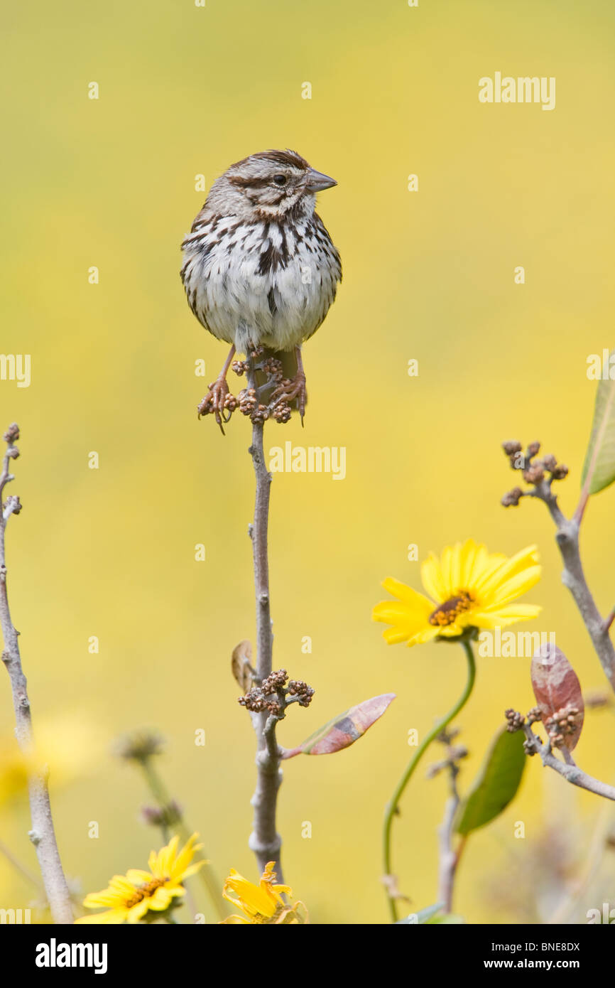 Song Sparrow perched in wildflowers - vertical - Stock Image