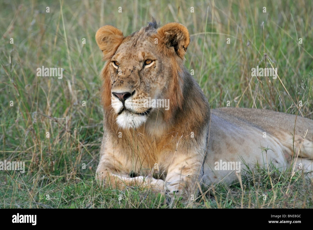 A young male Lion portrait shot. Picture taken in Masai Mara National Reserve, Kenya, East Africa. Stock Photo