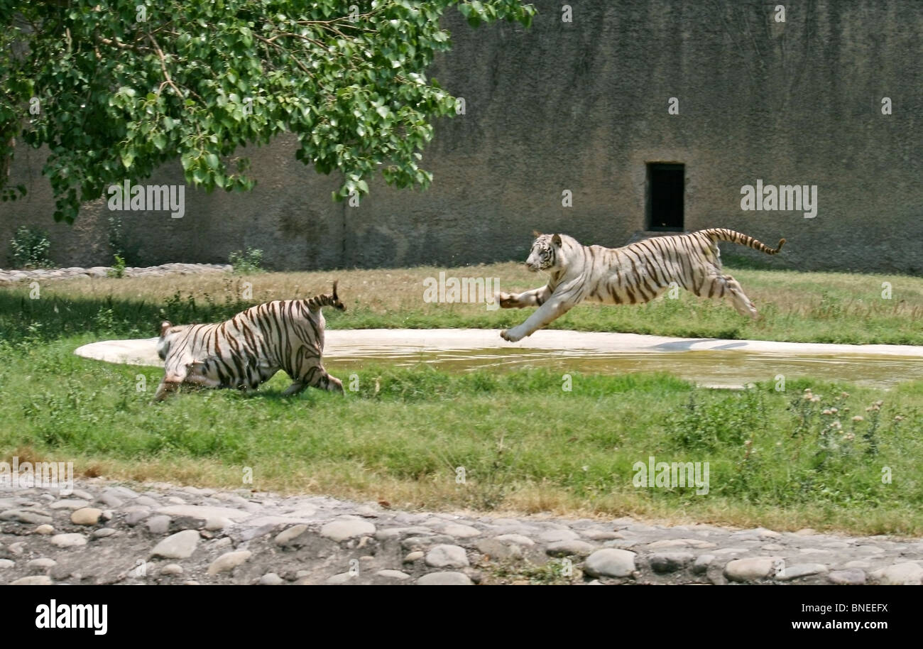 A Male white tiger jumping on a female white tiger in Chattbir Zoo, Chandigarh, India - Stock Image