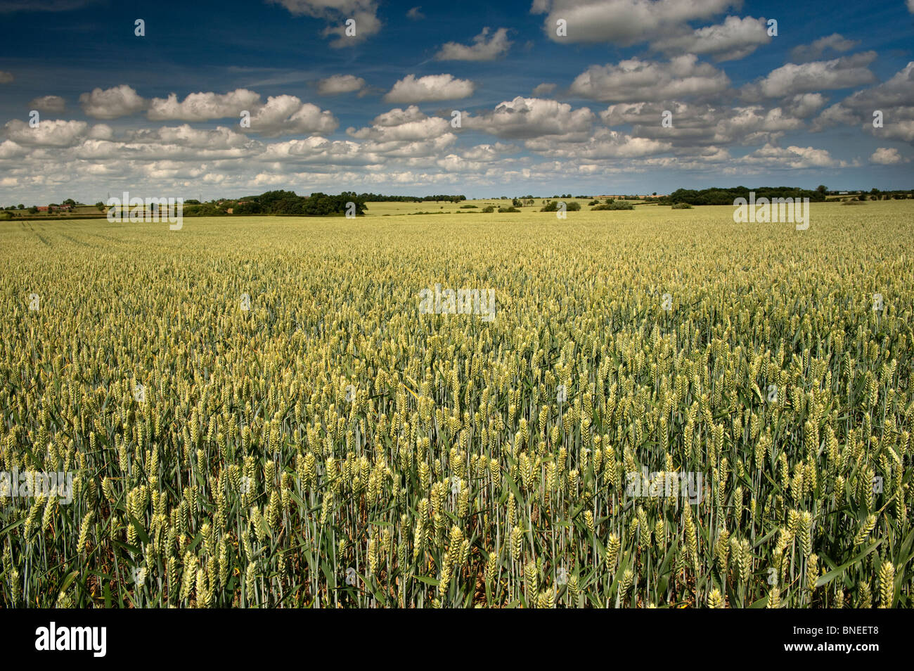 Wheat crop ripening in summer sun. North Yorkshire - Stock Image