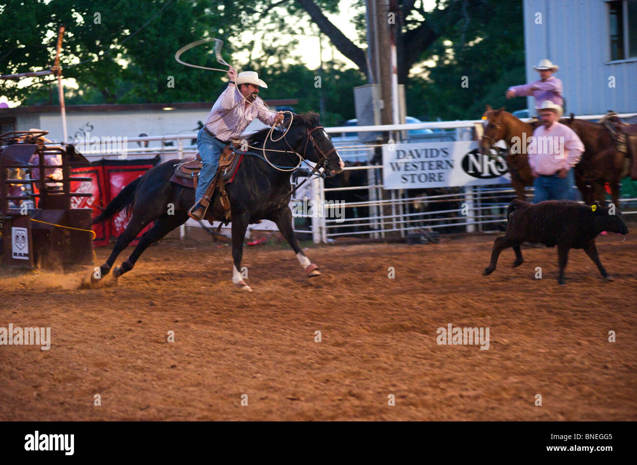 Cowboy roping calf at PRCA rodeo event  in Bridgeport, Texas, USA Stock Photo