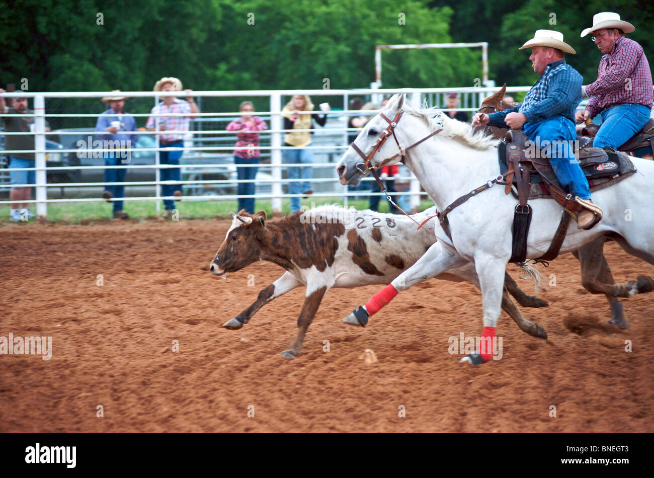 Two cowboys trying to catch bull in Steer Wrestling at Smalltown PRCA Rodeo , Bridgeport , Texas, USA - Stock Image