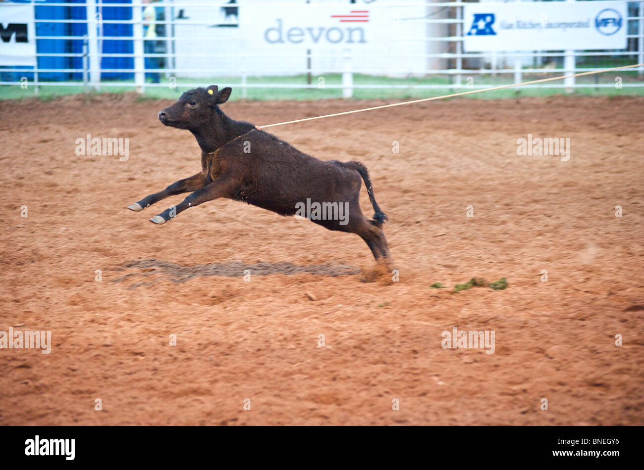 Calf tied to rope in steer wrestling competition at PRCA rodeo in Smalltown, Bridgeport, Texas, USA Stock Photo