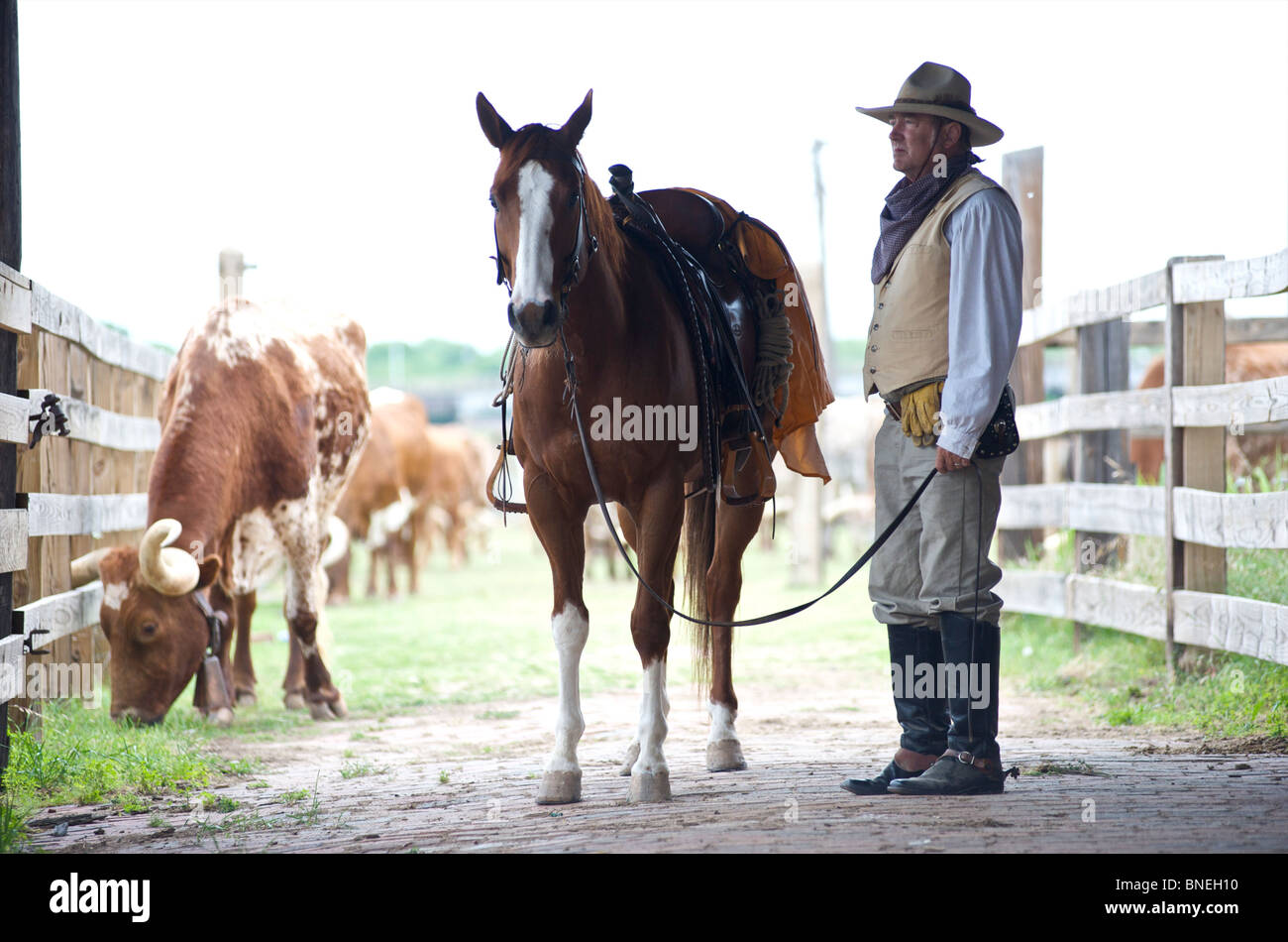 Cowboy with longhorns on ranch in Stockyard in Fort Worth, Texas, USA - Stock Image