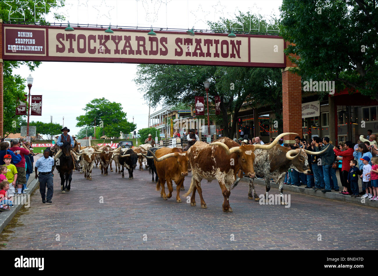 Cowboys herding Longhorns from Stockyards to Streets of Fort Worth In North Texas Stock Photo